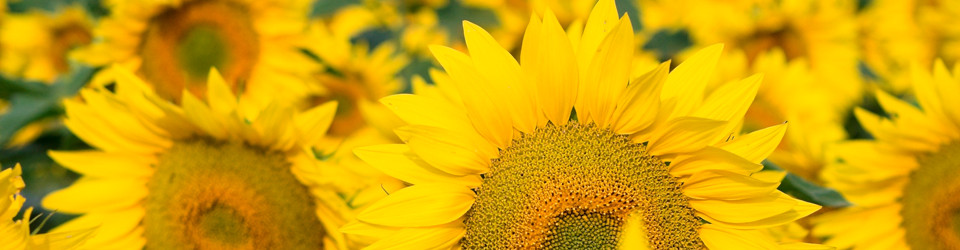 Sunflower_Banner_960x350-960x250